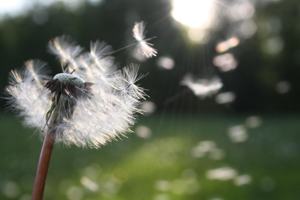 Dandelion gone to seed blowing into the wind with sunlight behind it.
